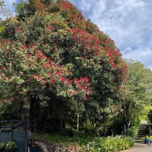 Pohutukawa tree at Beaufort House Akaroa Luxury Accommodation